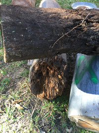 rotted timber stump sml